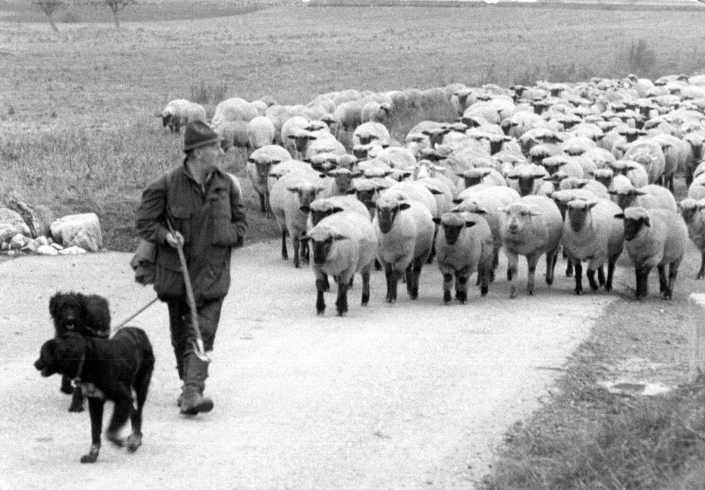 Franz mit Herde