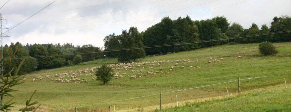 Schafe-in-Hilgert.IMG_4001-1024x683 - Kopie